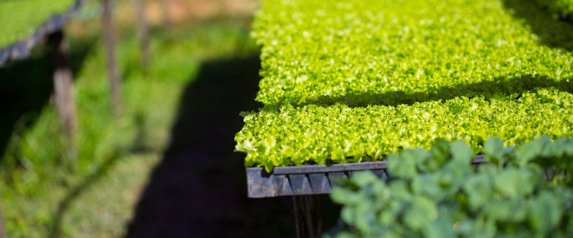 Verduras horta orgânica Orgânico Gourmet