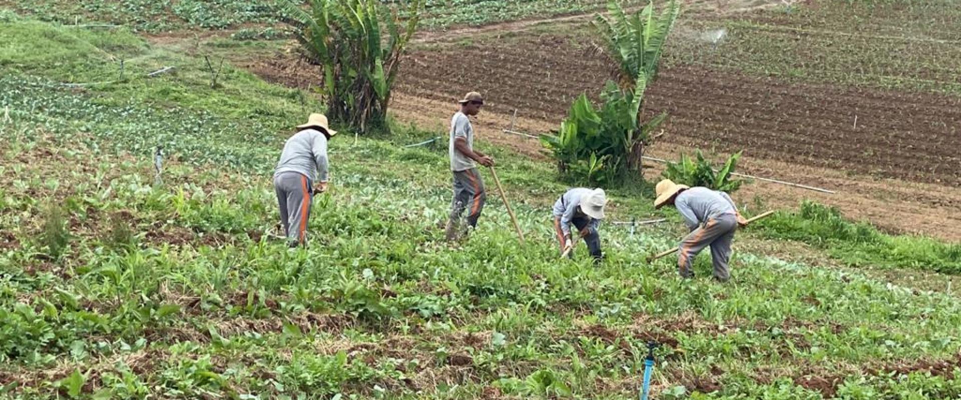 Trabalhadores na lavoura de orgânicos (Solo Vivo)